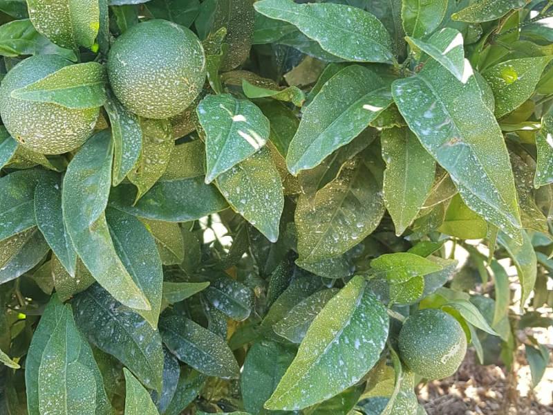 caolino contro le scottature solari dei frutti