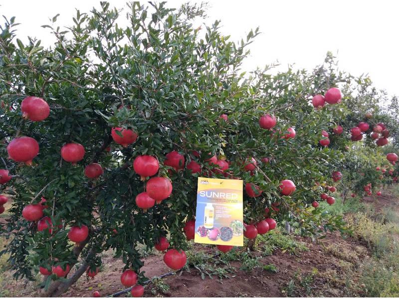 sunred biopromotore maturazione colorazione frutti